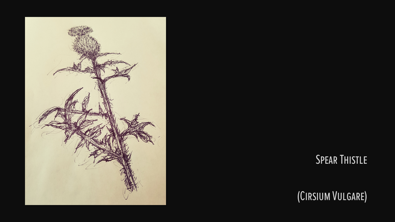 SPEAR THISTLE, Sketch by me, 2018.
