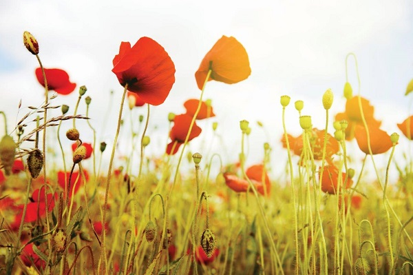 Remembrance_Day_poppies.jpg