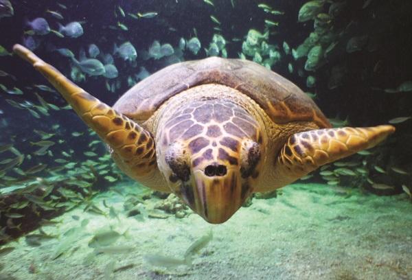 Chong the Loggerhead Sea Turtle at Manly SEA LIFE Sanctuary.jpg
