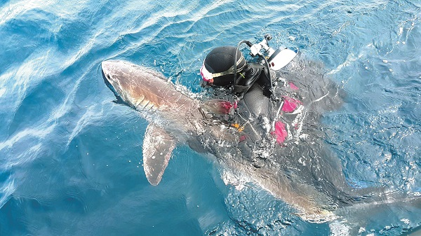 White Shark Rescue_Manly Sea Life Sanctuary copy.jpg