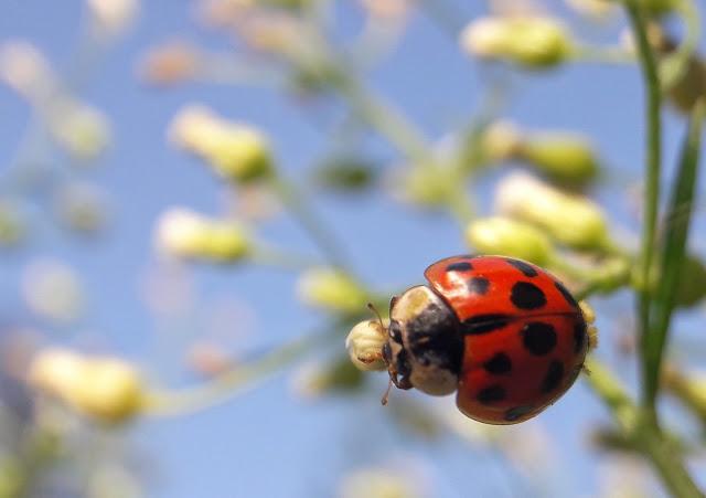 3HAIBUN DCLVII - lady bug - Copy.jpeg