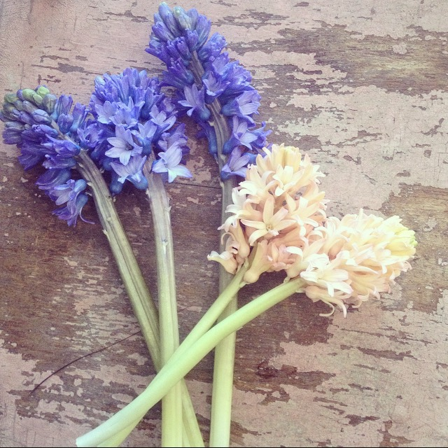 """There's an old Persian proverb that says """"If you have two loaves of bread, sell one and buy a hyacinth."""" To that we say, """"Who needs bread? Sell both and buy two!"""" This week, you won't have to sell anything because our $10 wrap bouquet is five stems of long-lasting, uber-fragrant hyacinth! What a deal! Arriving in an assortment of lovely peach and dark purple stems, these Dutch beauties are a traditional harbinger of spring! Available for pick-up Wednesday through Saturday. Call us at 218-728-1455 to reserve."""