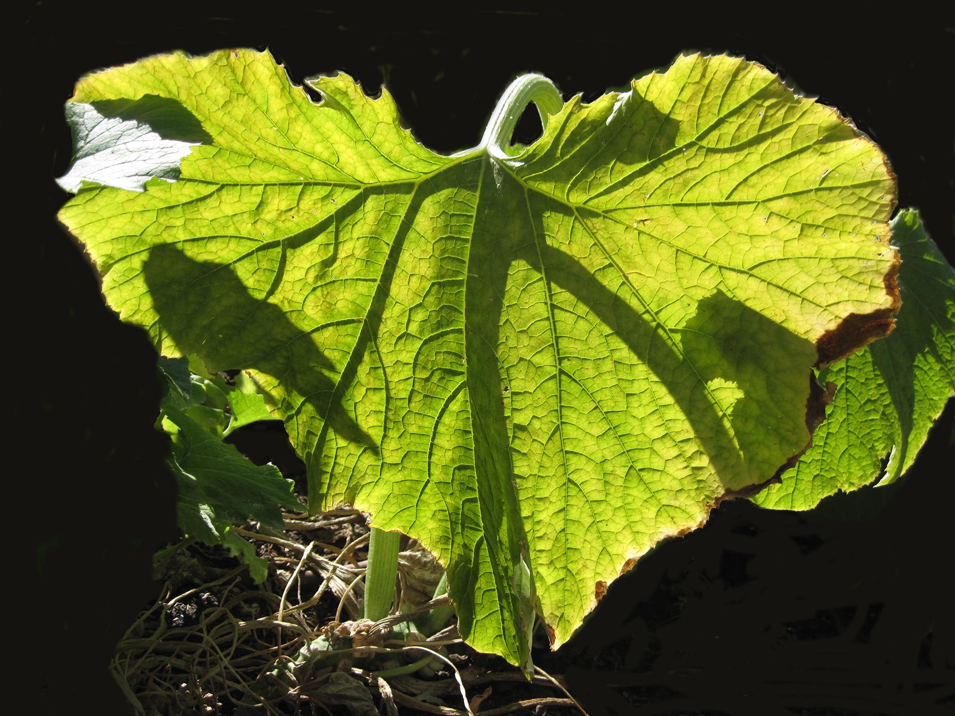 Richard Newman, Big Leaf