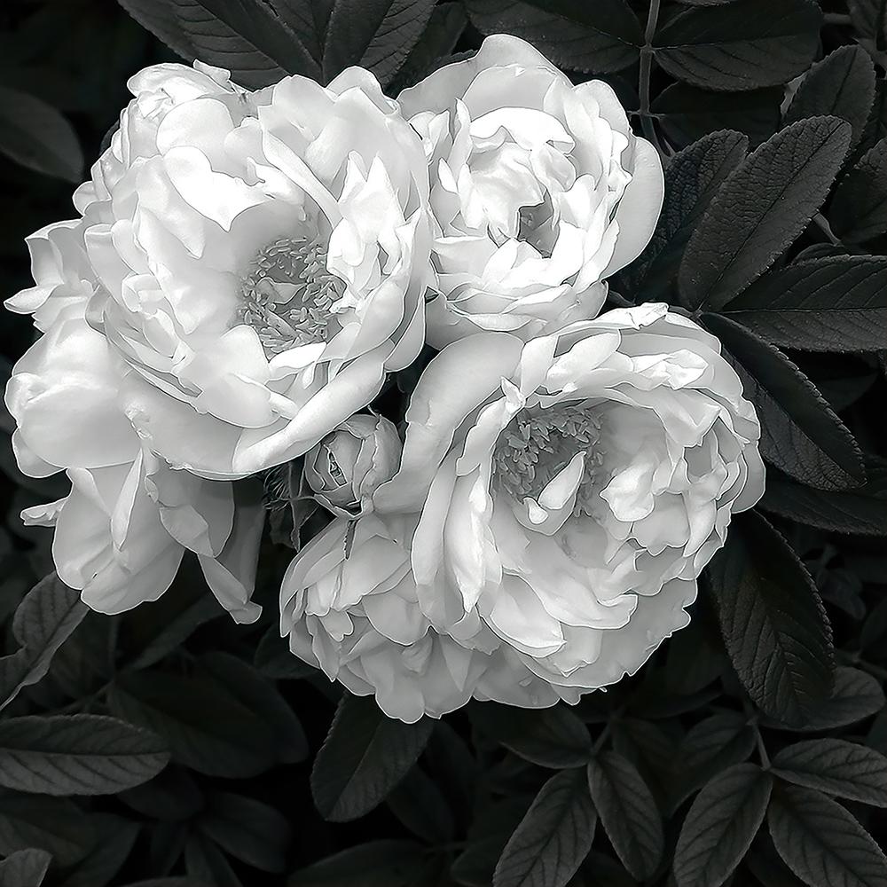 Summer Roses, Robert Bolla