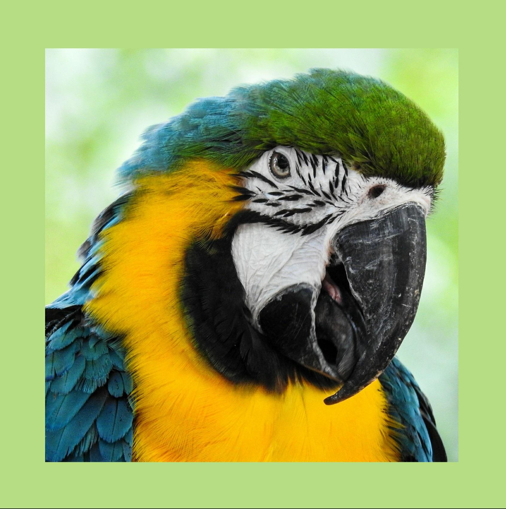 Macaw, Valerie Hosna