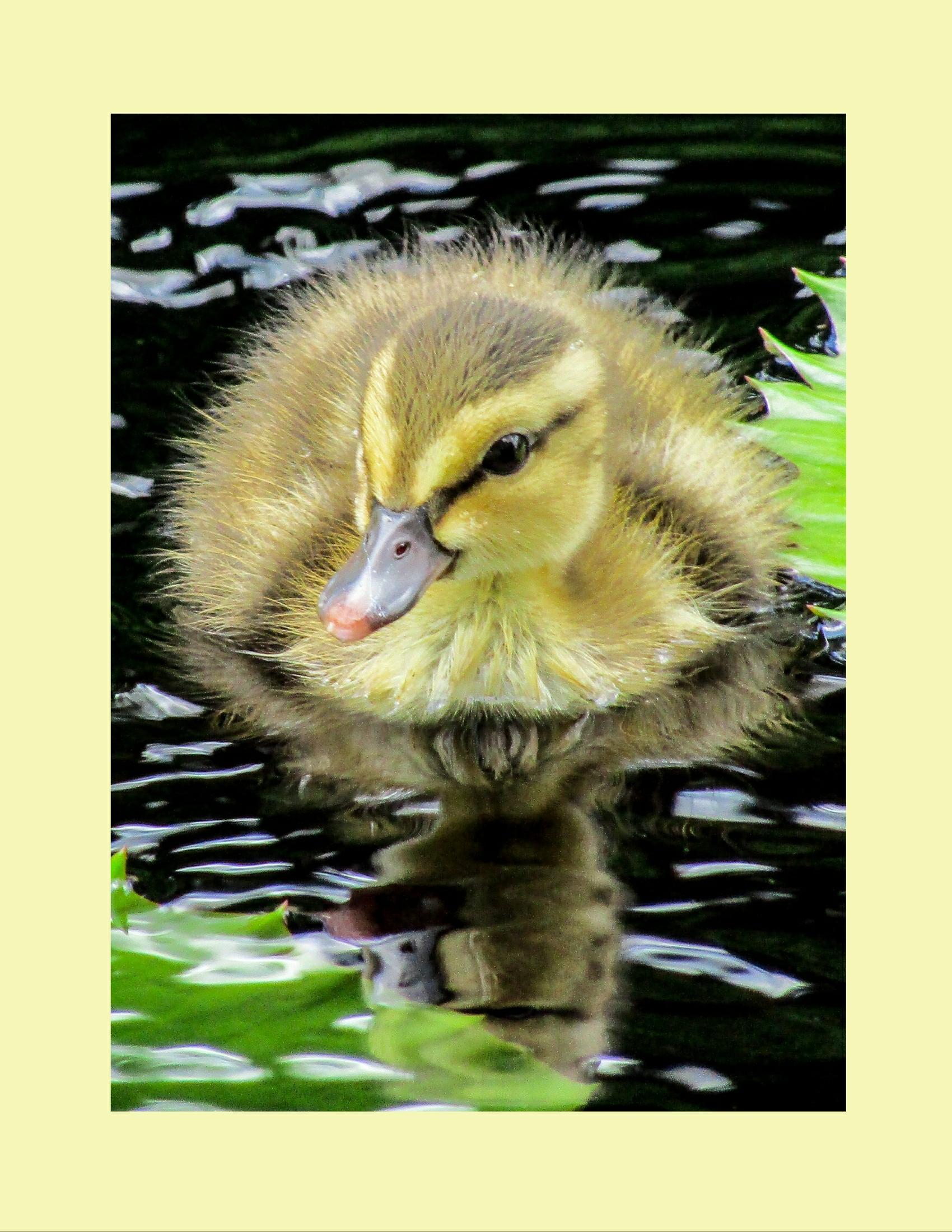Darling Duckling, Valerie Hosna