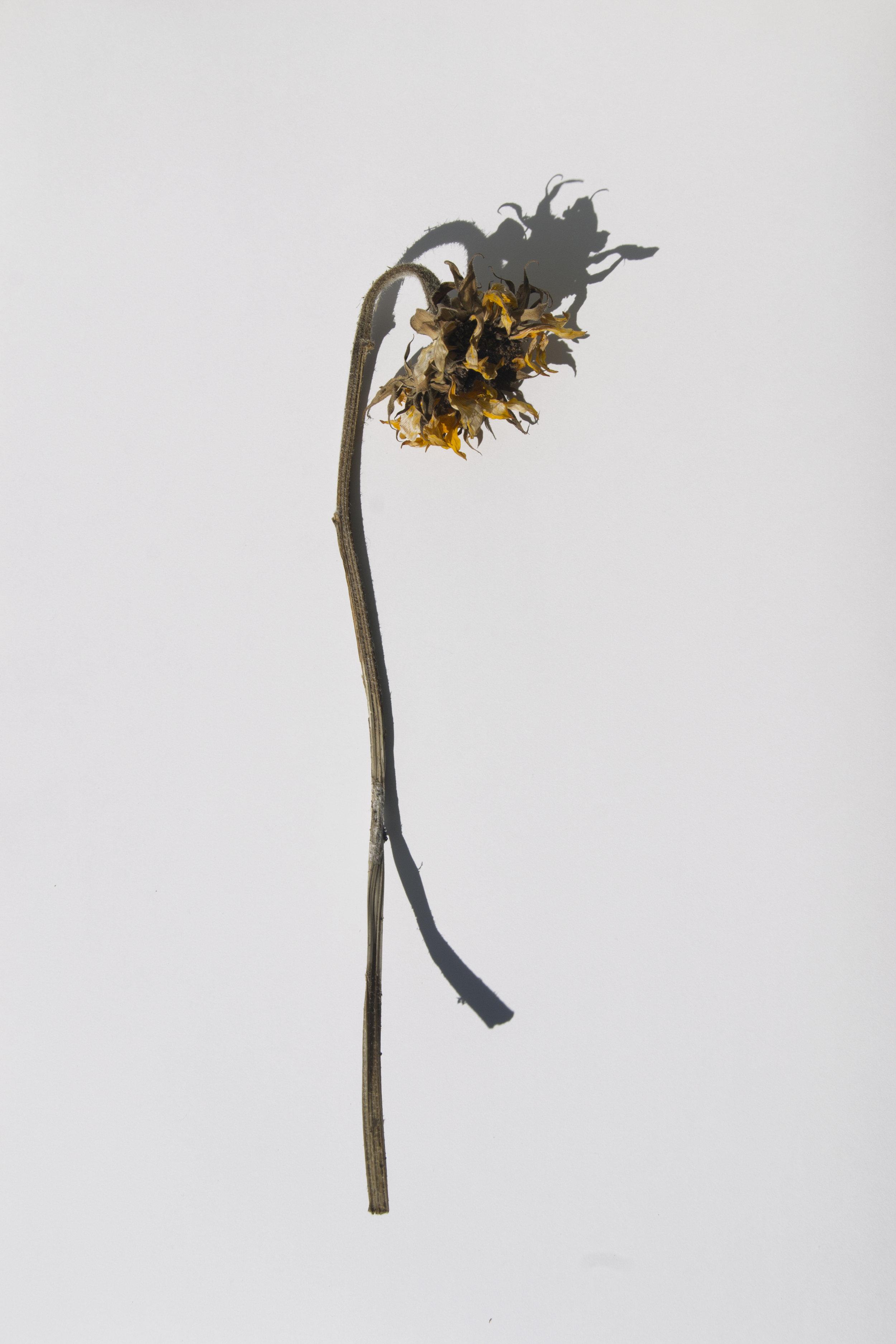 Sunflower_Whiter.jpg