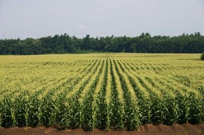http://hametownshoppesgardener.blogspot.com/2011/07/basics-of-sweet-corn.html