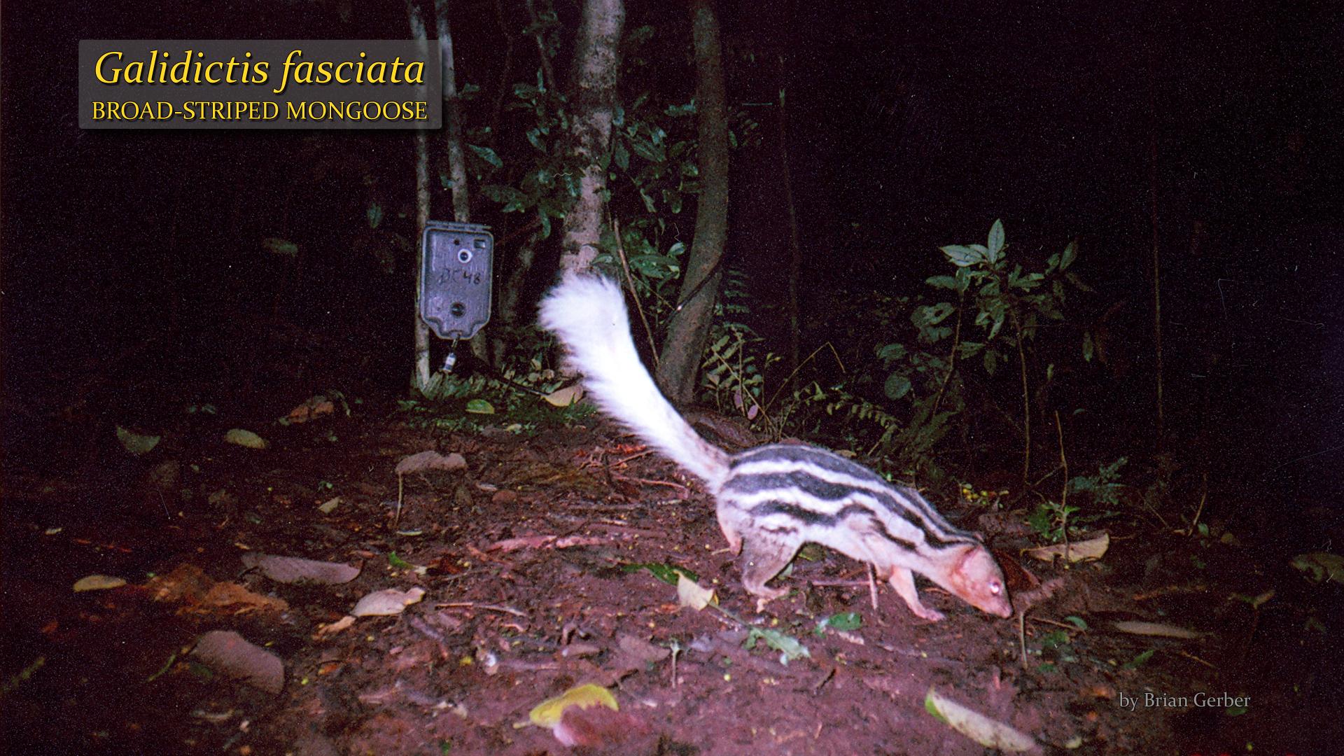 Galidictis fasciata- Brian Gerber.jpg