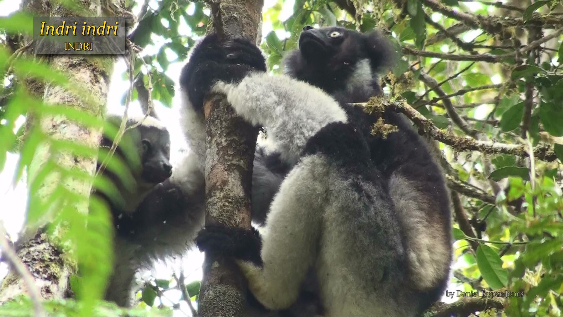 Indri indri- DRJ.jpg