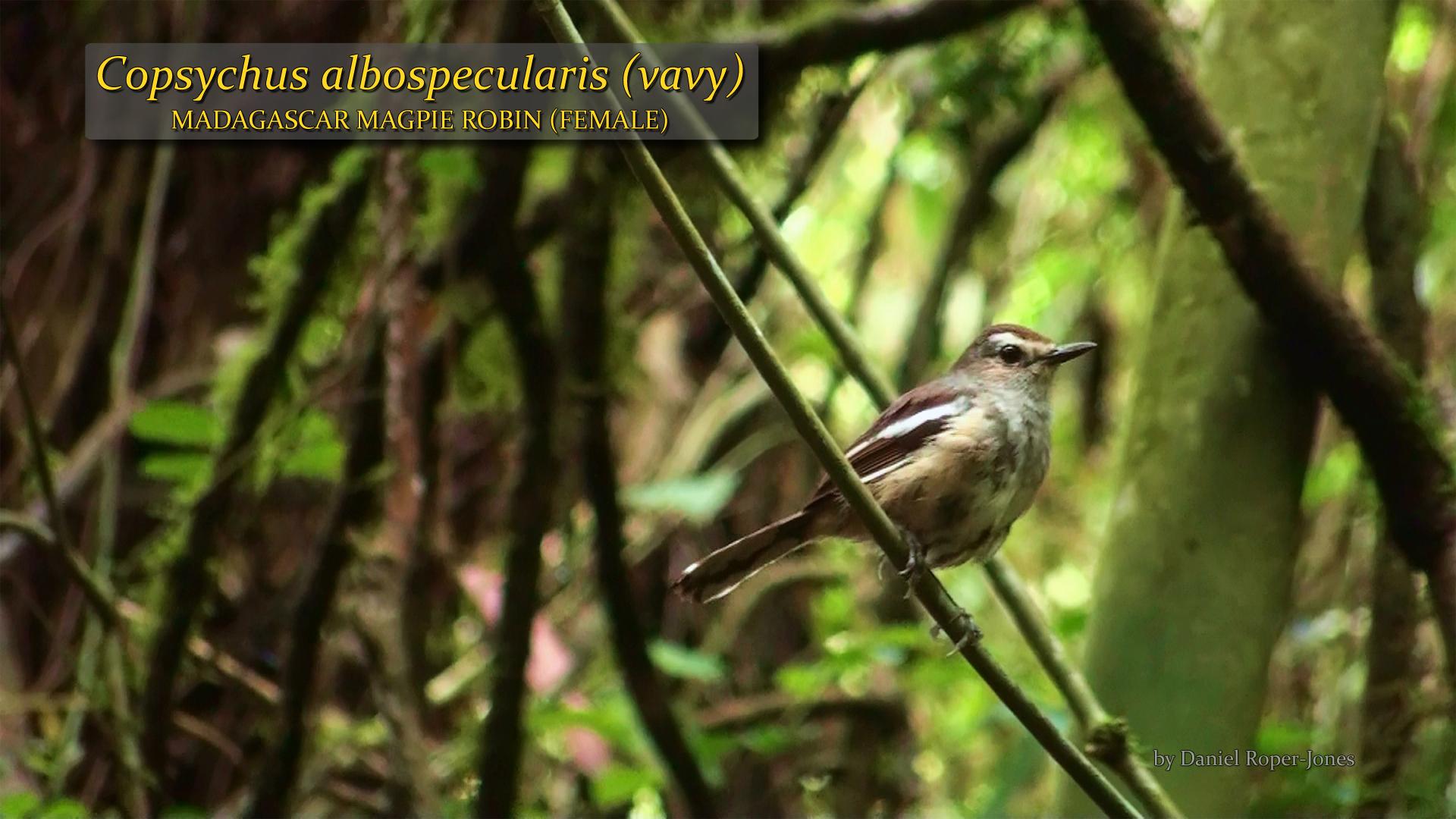 Copsychus albospecularis female- DRJ.jpg