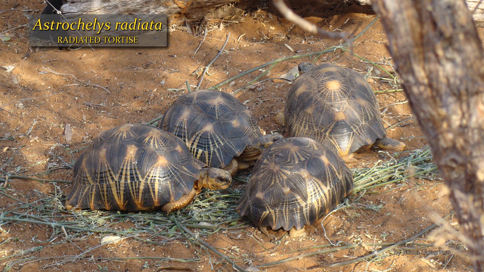 Astrochelys radiata- Jenna Guerriero.jpg
