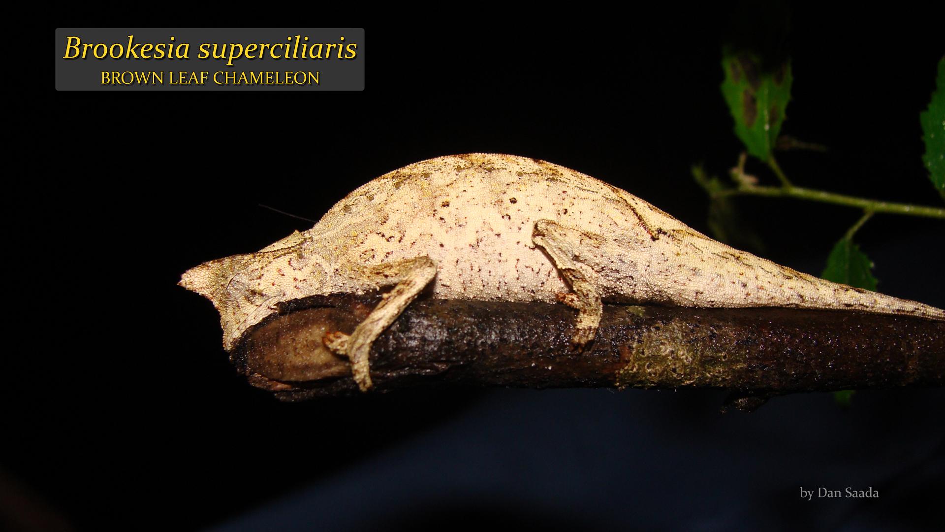 Brookesia superciliaris- Dan Saada.jpg