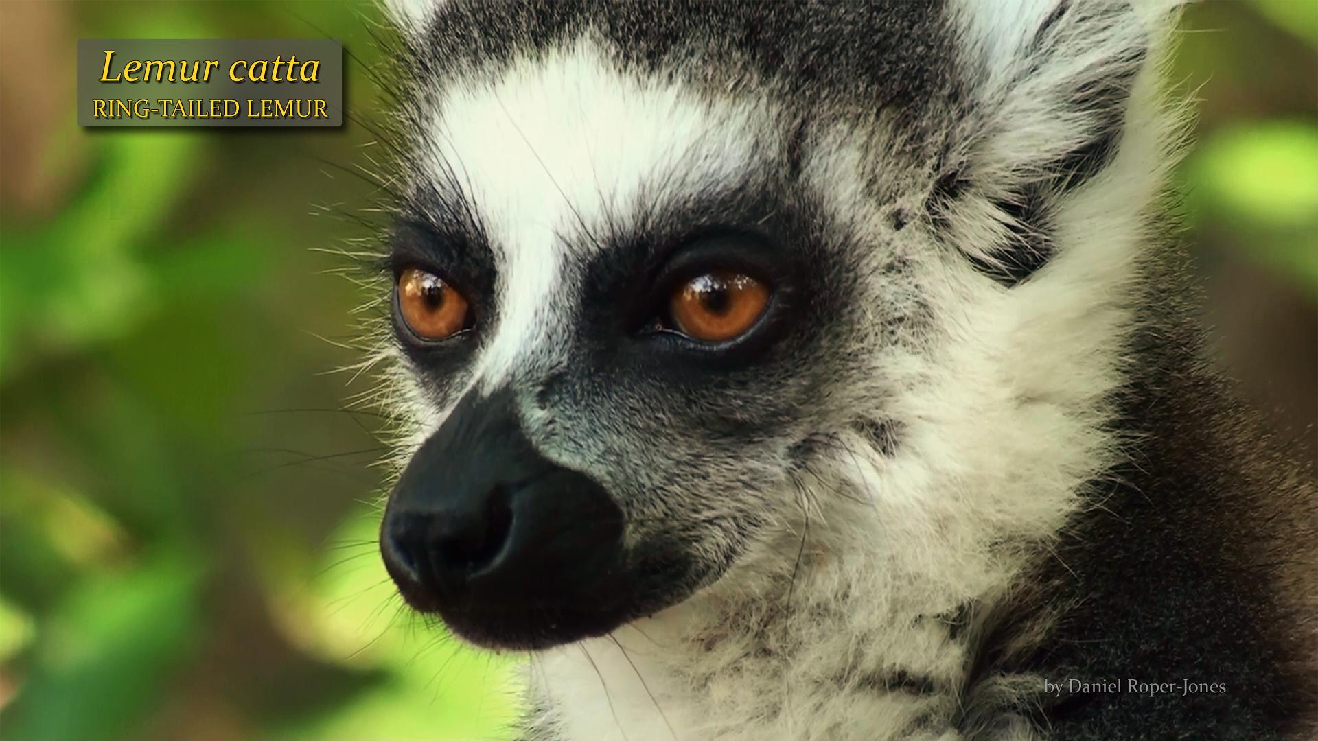 Lemur catta- DRJ.jpg