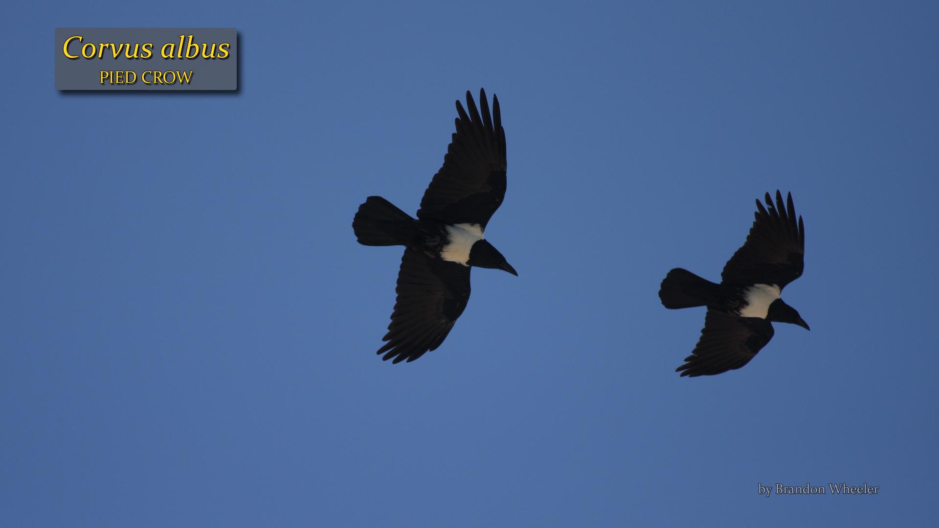 Corvus albus- Brandon Wheeler.jpg