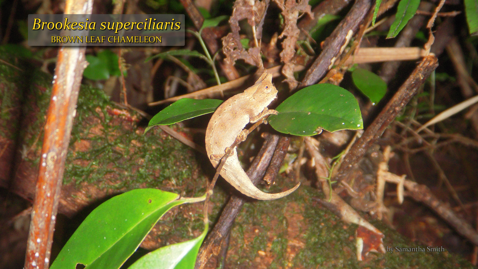 Brookesia superciliaris- Samantha Smith.jpg