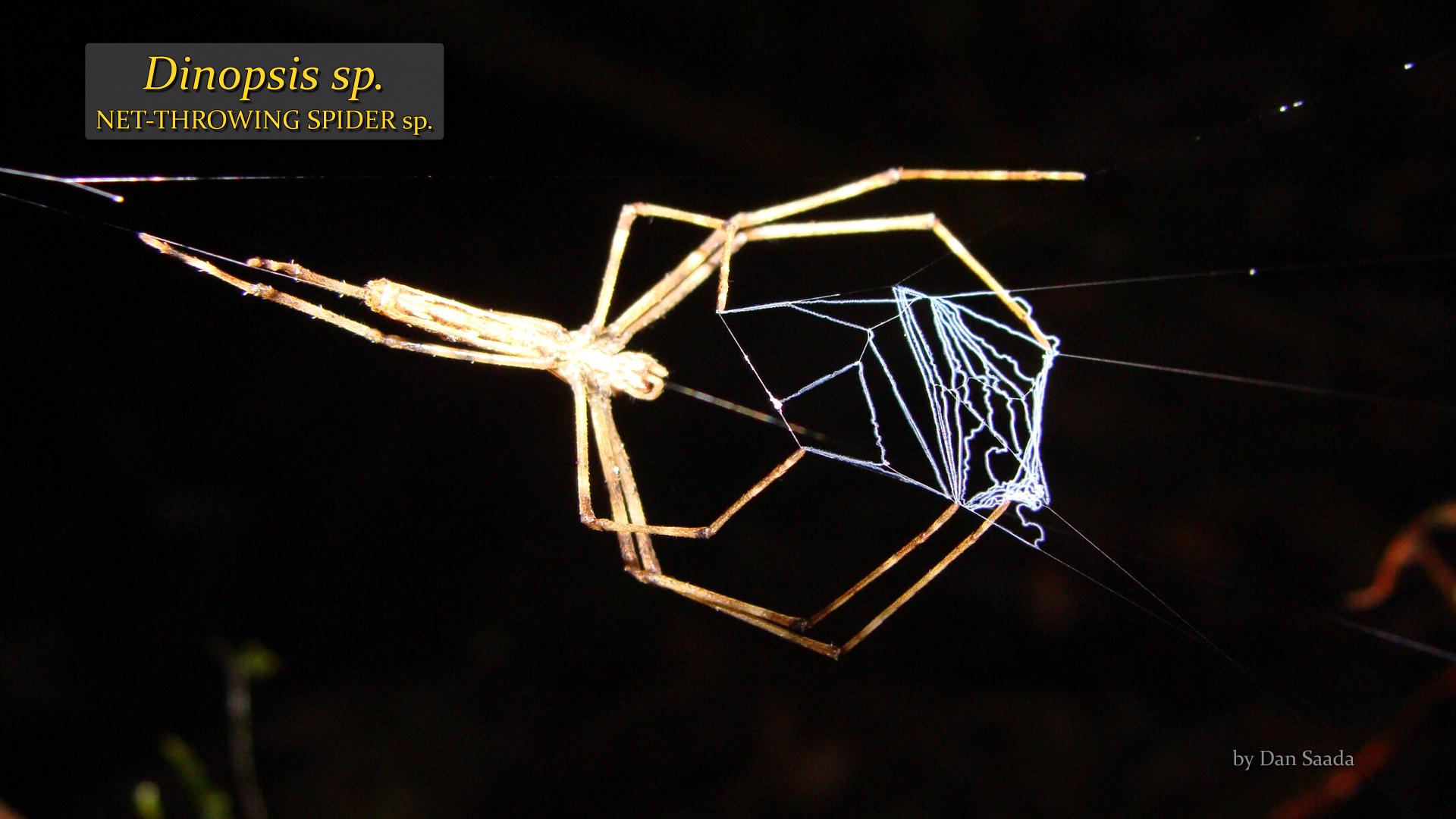 Dinopsis sp- Dan Saada.jpg