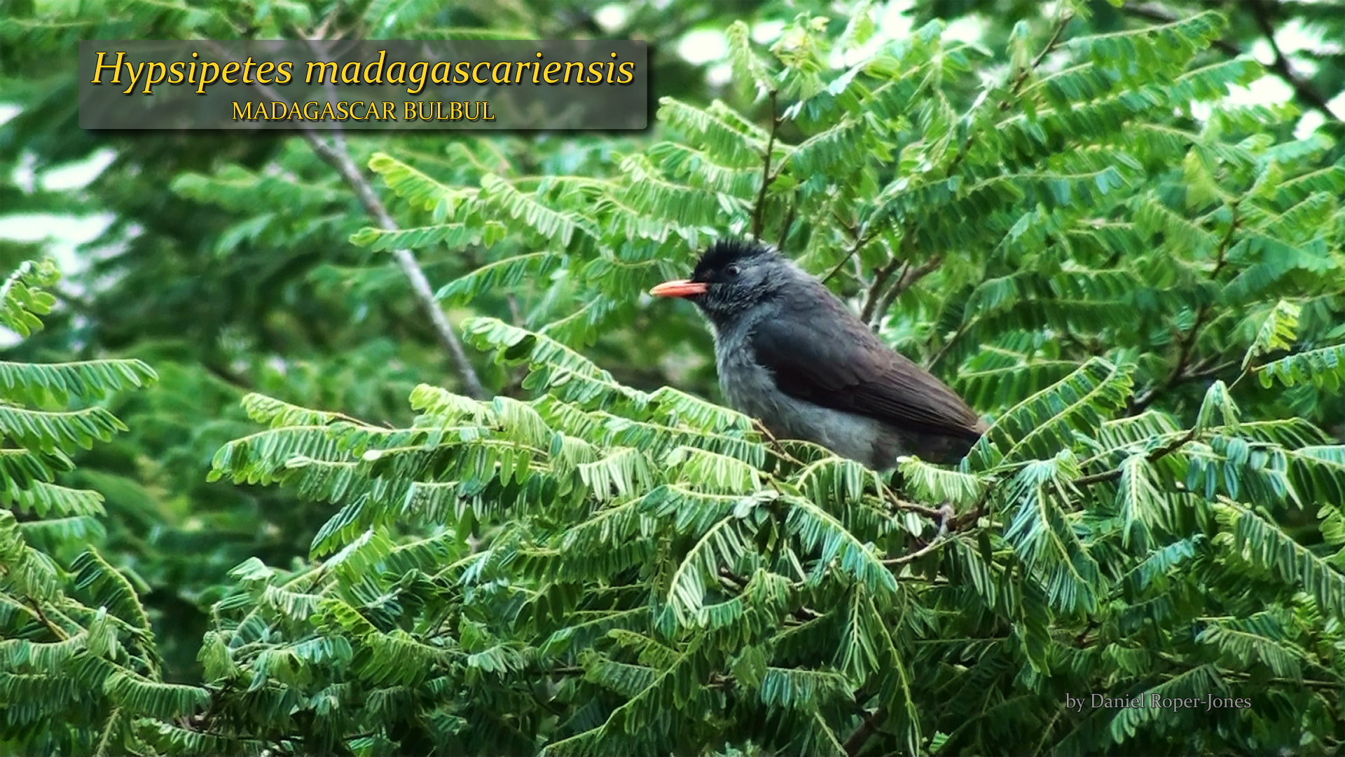 Hypsipetes madagascariensis- DRJ.jpg