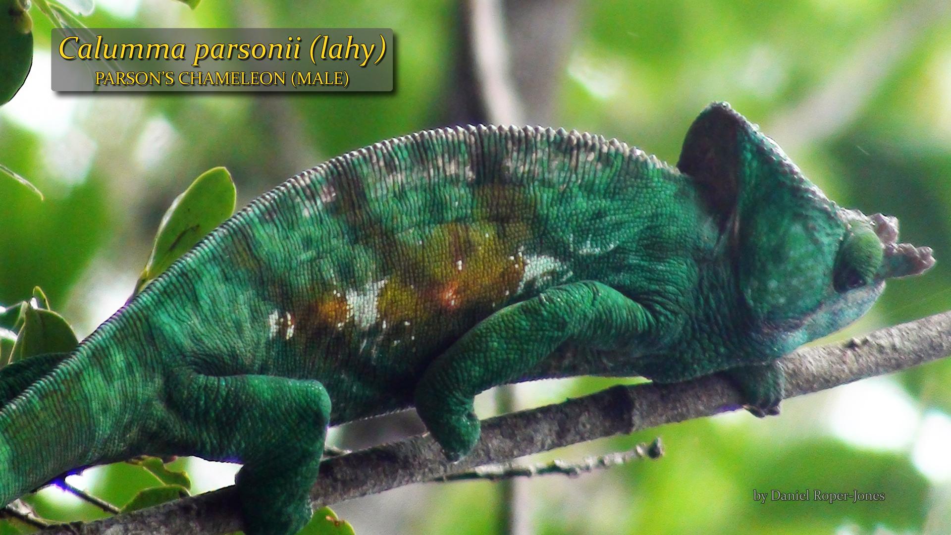 Calumma parsonii- male- DRJ.jpg