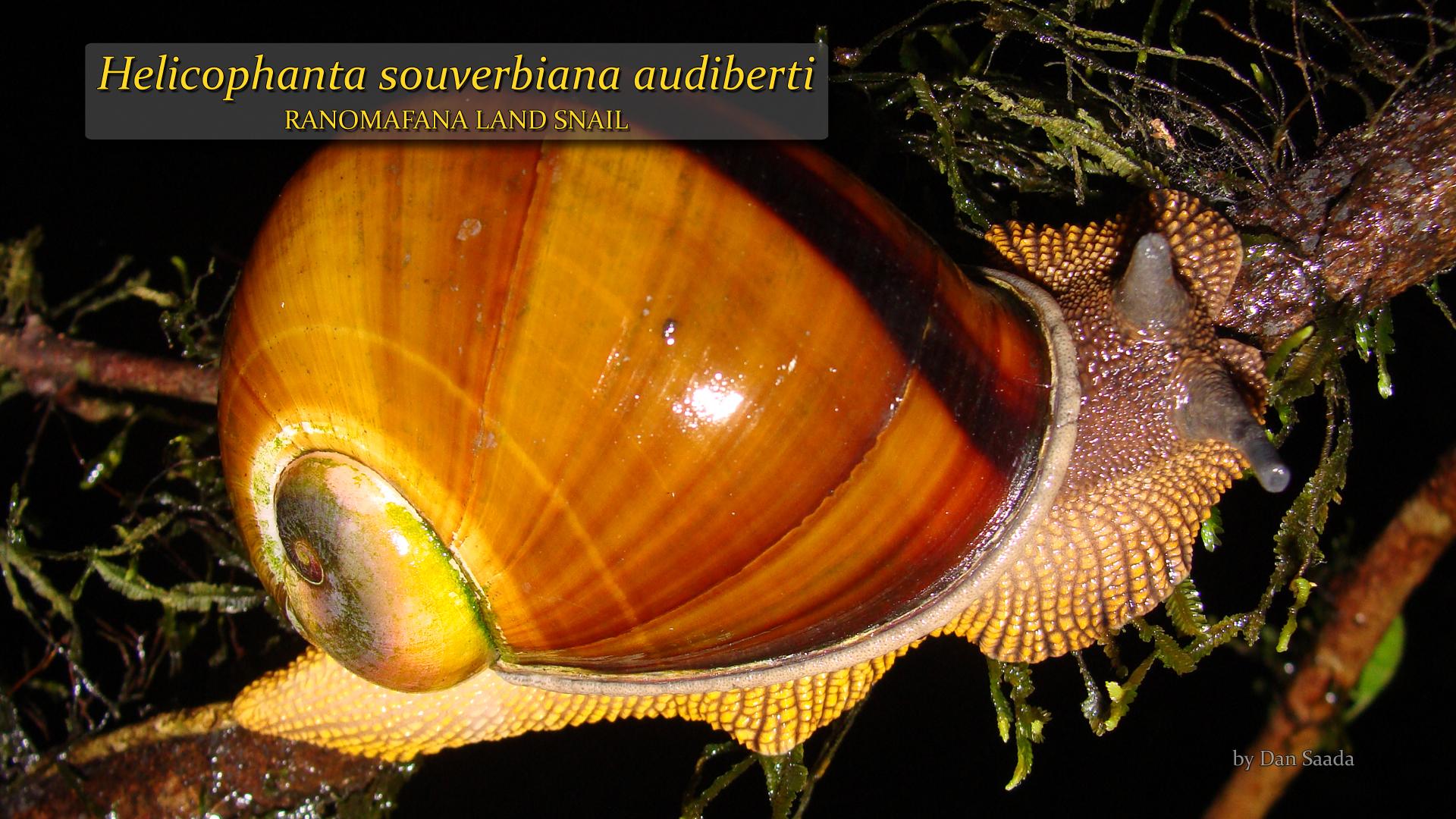 Helicophanta souverbiana audiberti- Dan Saada.jpg