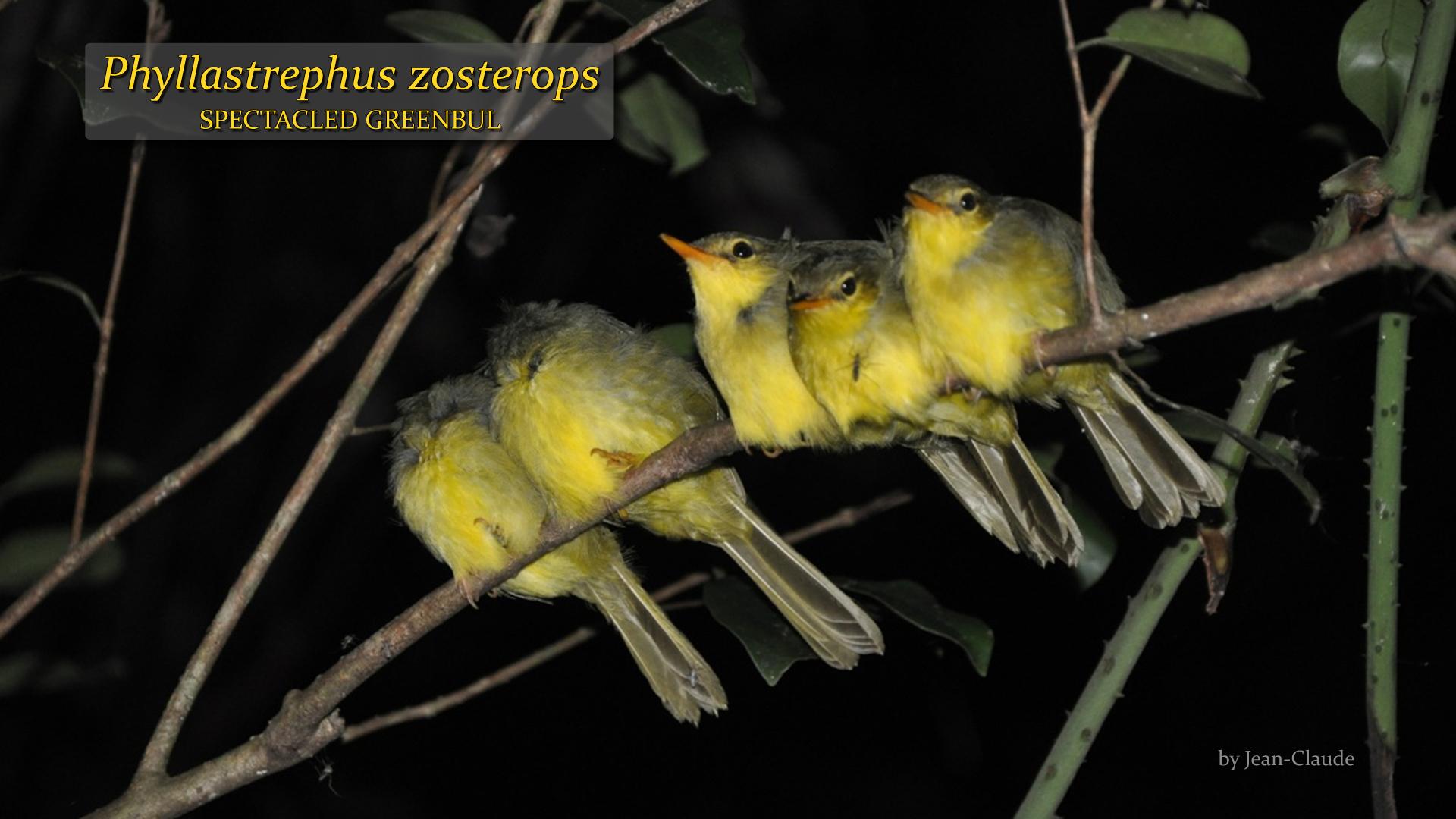 Phyllastrephus zosterops- Jean-Claude.jpg