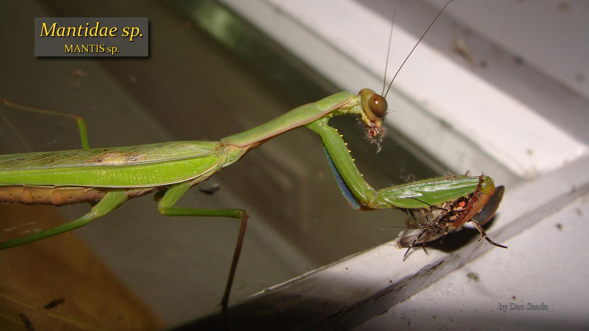 Mantidae sp- Dan Saada.jpg
