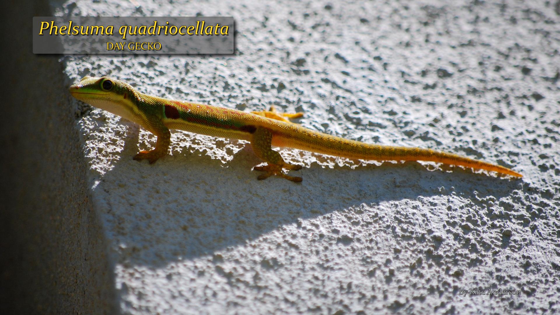 Phelsuma quadriocellata- Kate Anderson.jpg