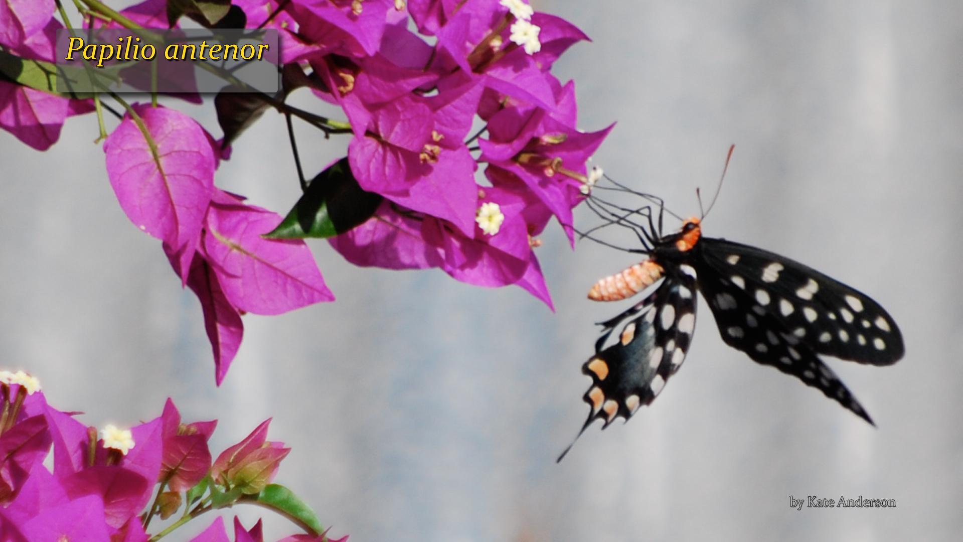 Papilio antenor- Kate Anderson.jpg