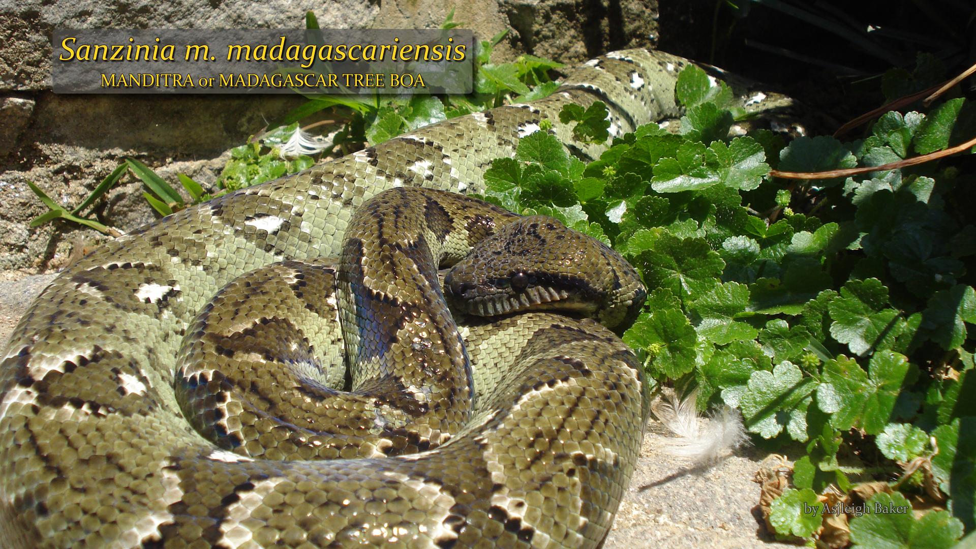 Sanzinia madagascariensis- Ashleigh Baker.jpg