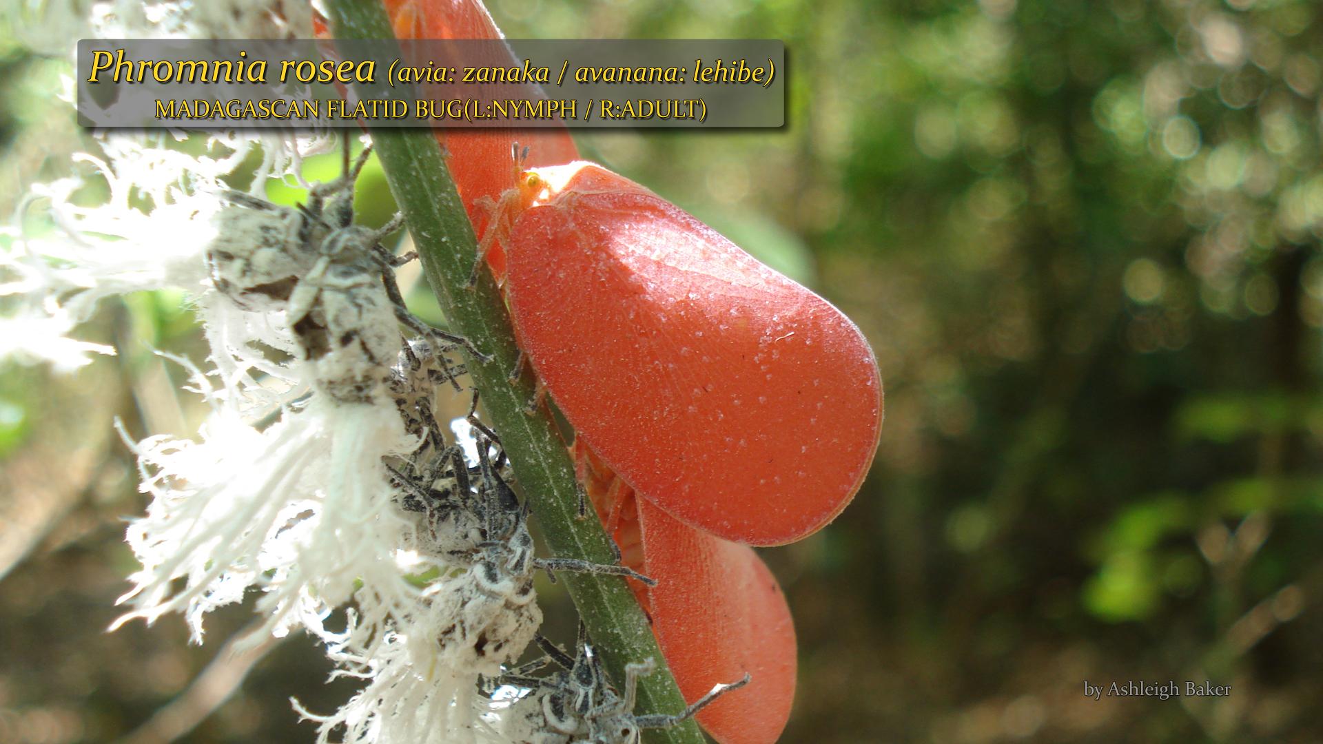 Phromnia rosea- Ashleigh Baker.jpg