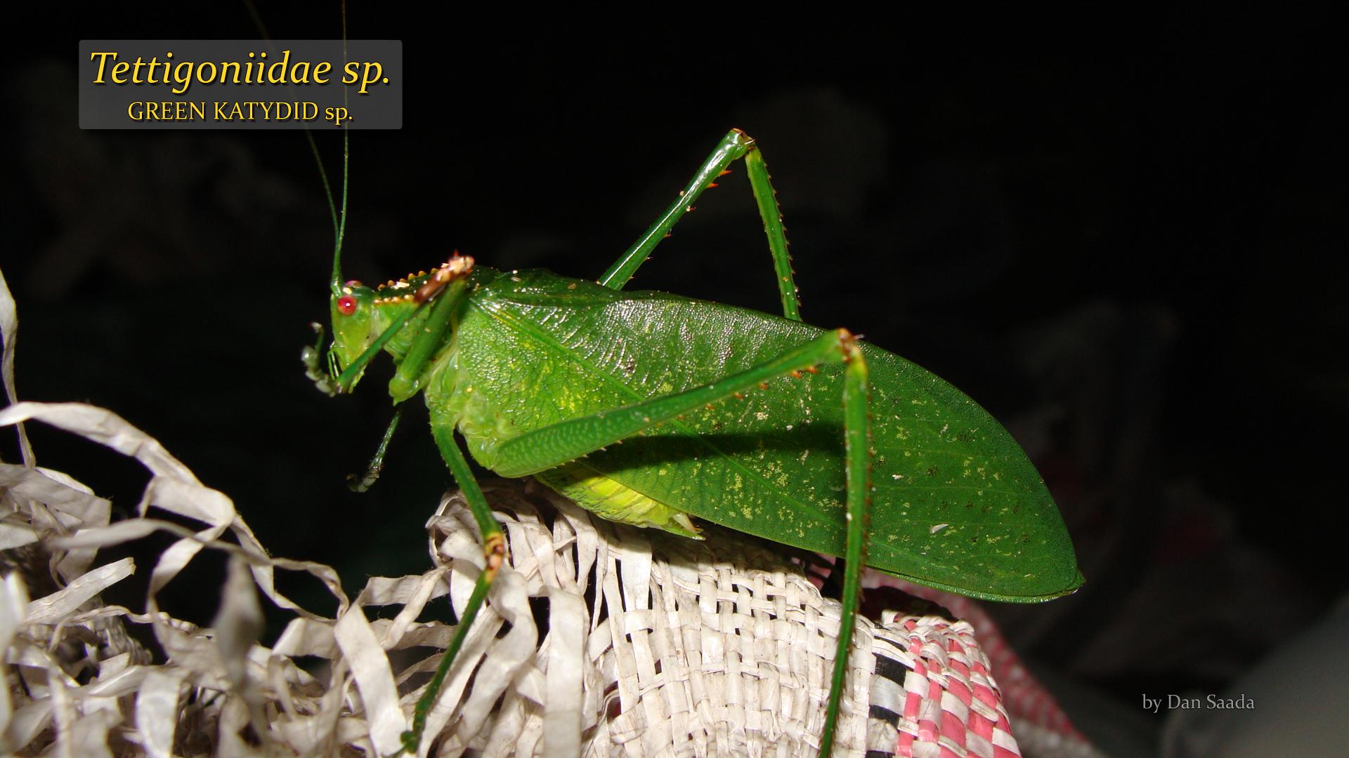 Tettigoniidae sp- Dan Saada.jpg