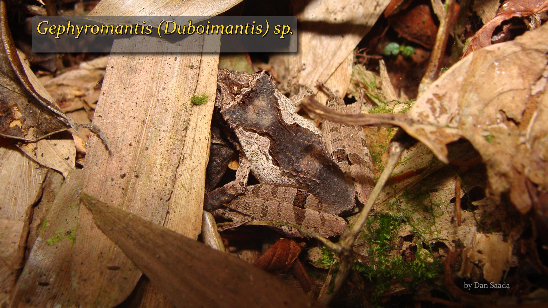 Gephyromantis (Duboimantis) sp 2- Dan Saada.jpg
