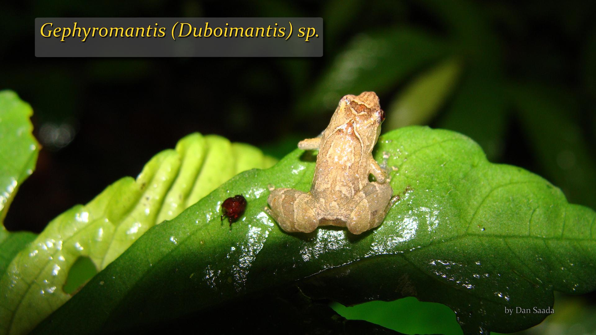 Gephyromantis (Duboimantis) sp- Dan Saada.jpg