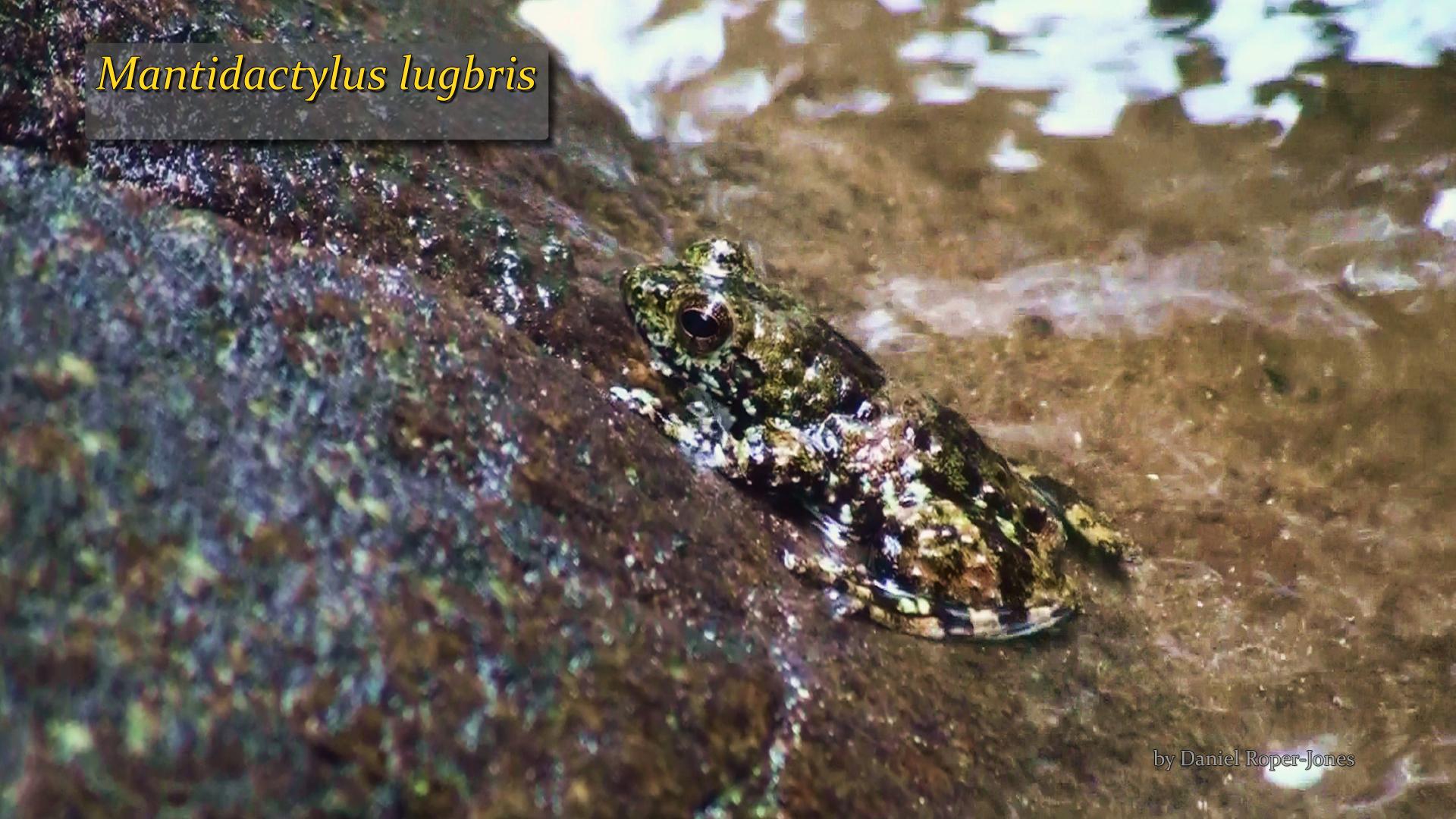 Mantidactylus lugbris- DRJ.jpg