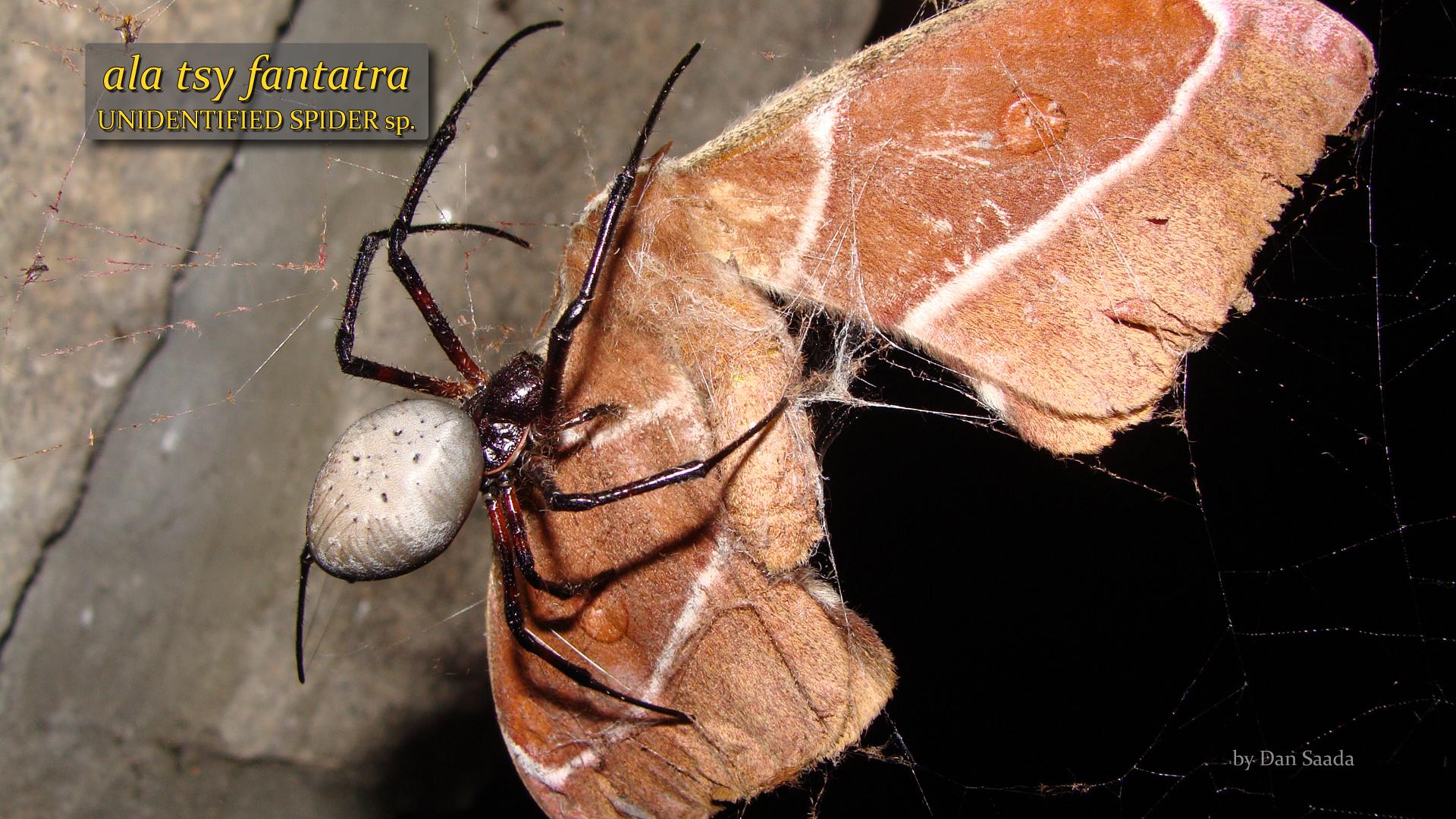 Unidentified spider 1- Dan Saada.jpg