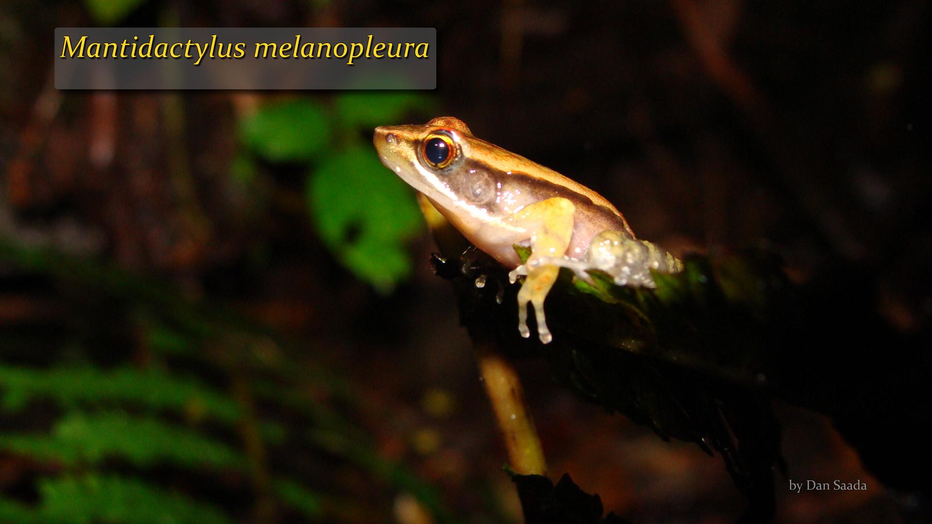 Mantidactylus melanopleura- Dan Saada.jpg
