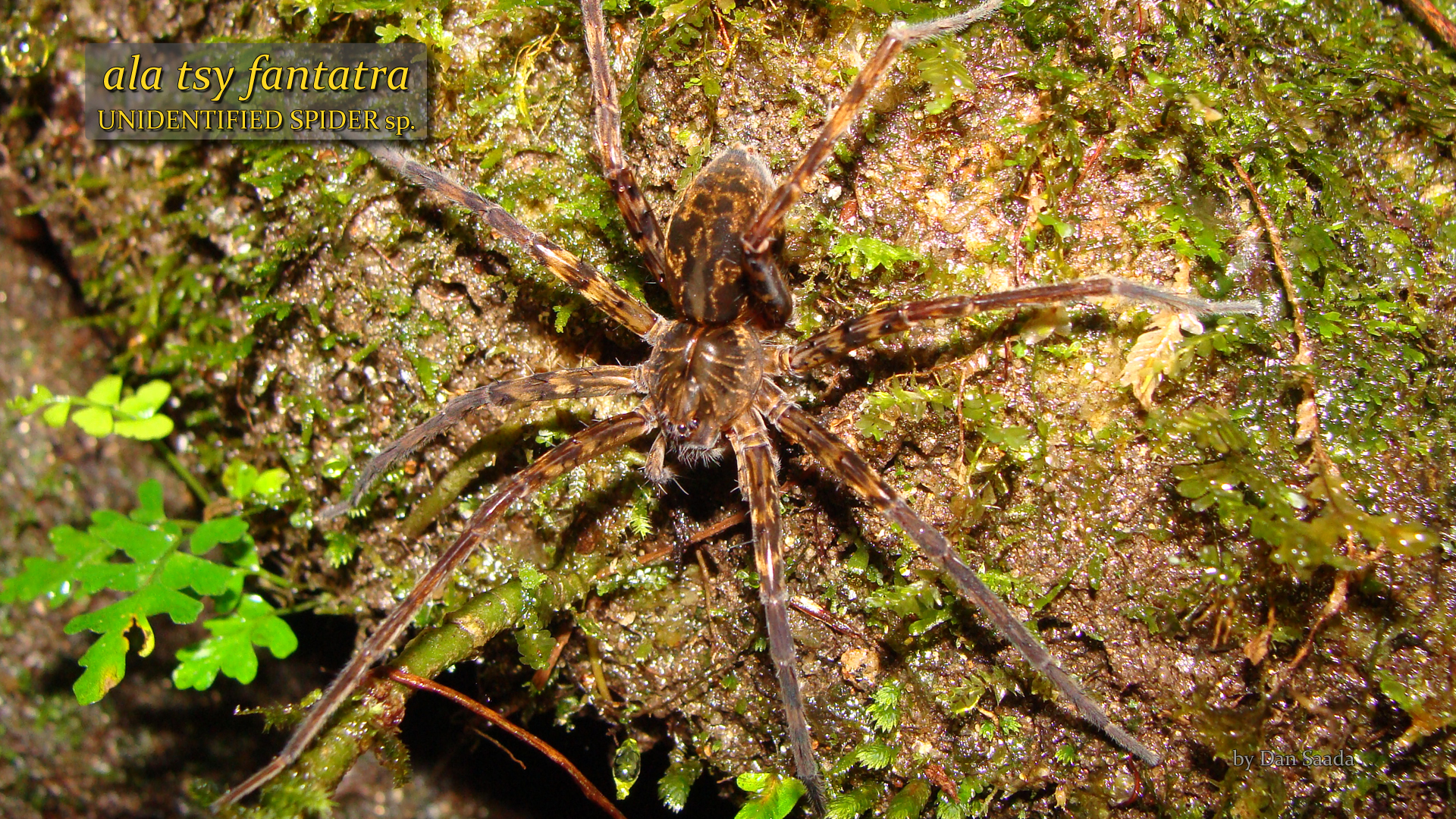 Unidentified spider 2- Dan Saada.jpg