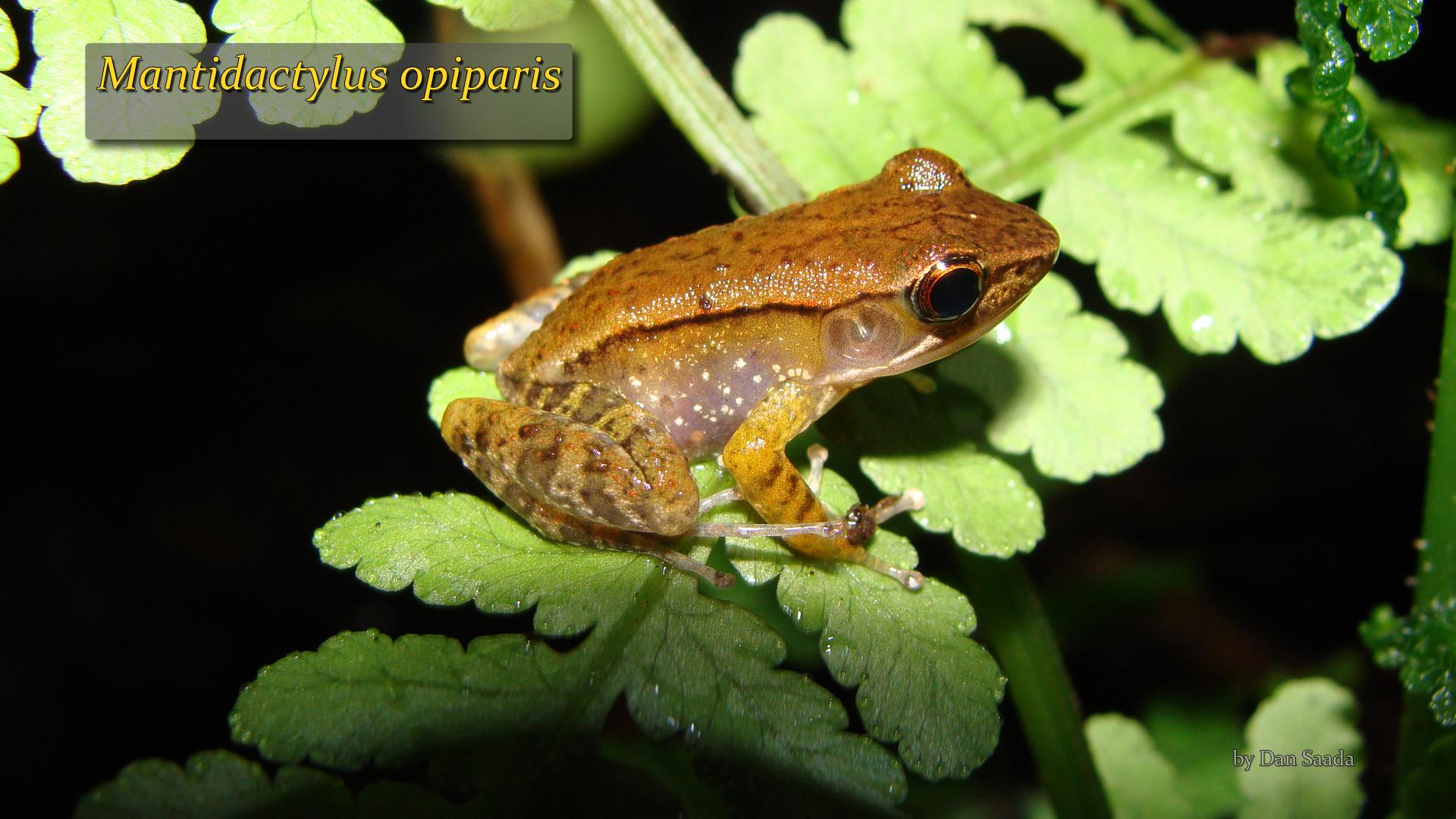 Mantidactylus opiparis- Dan Saada.jpg