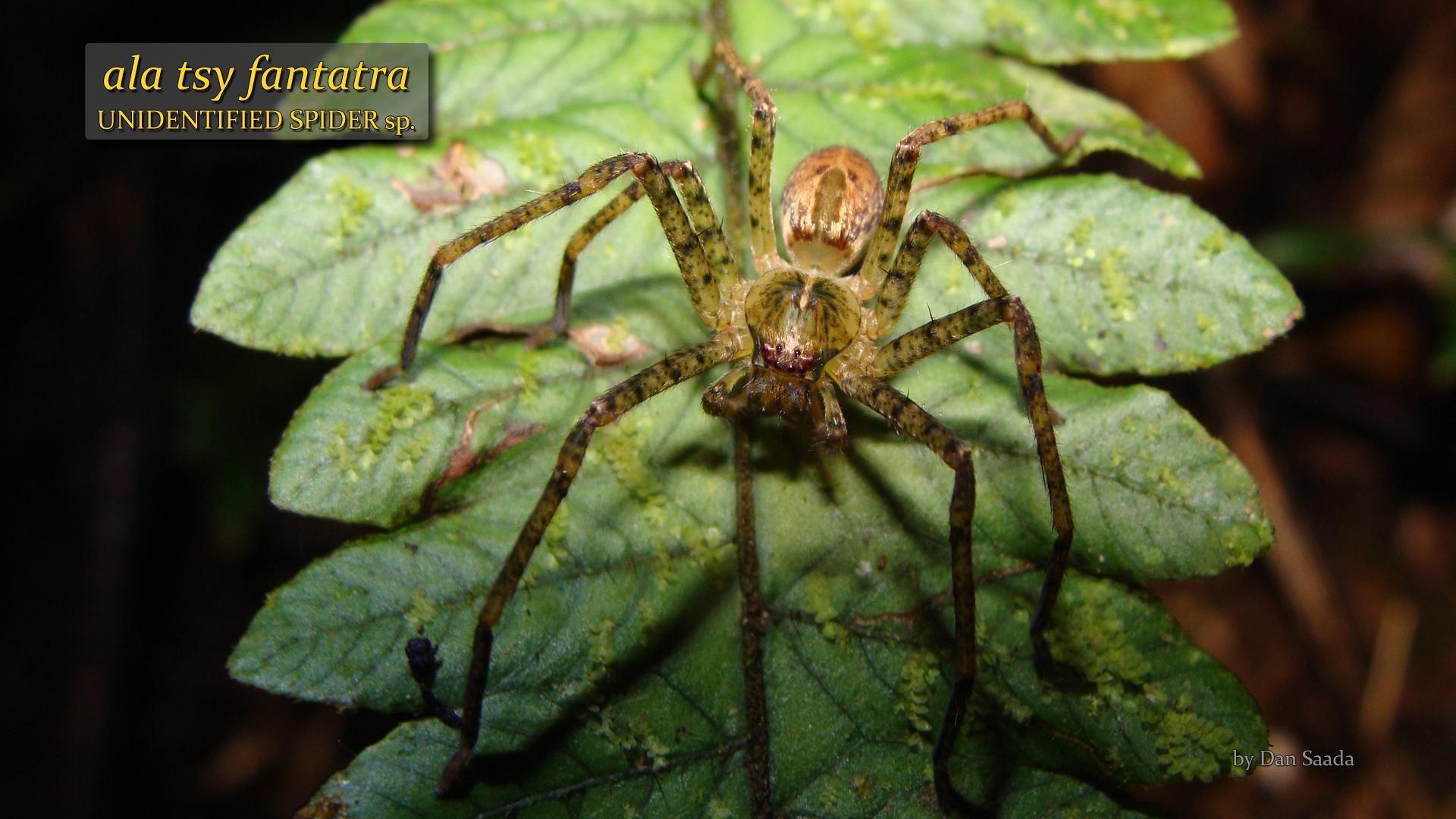 Unidentified spider 3- Dan Saada.jpg