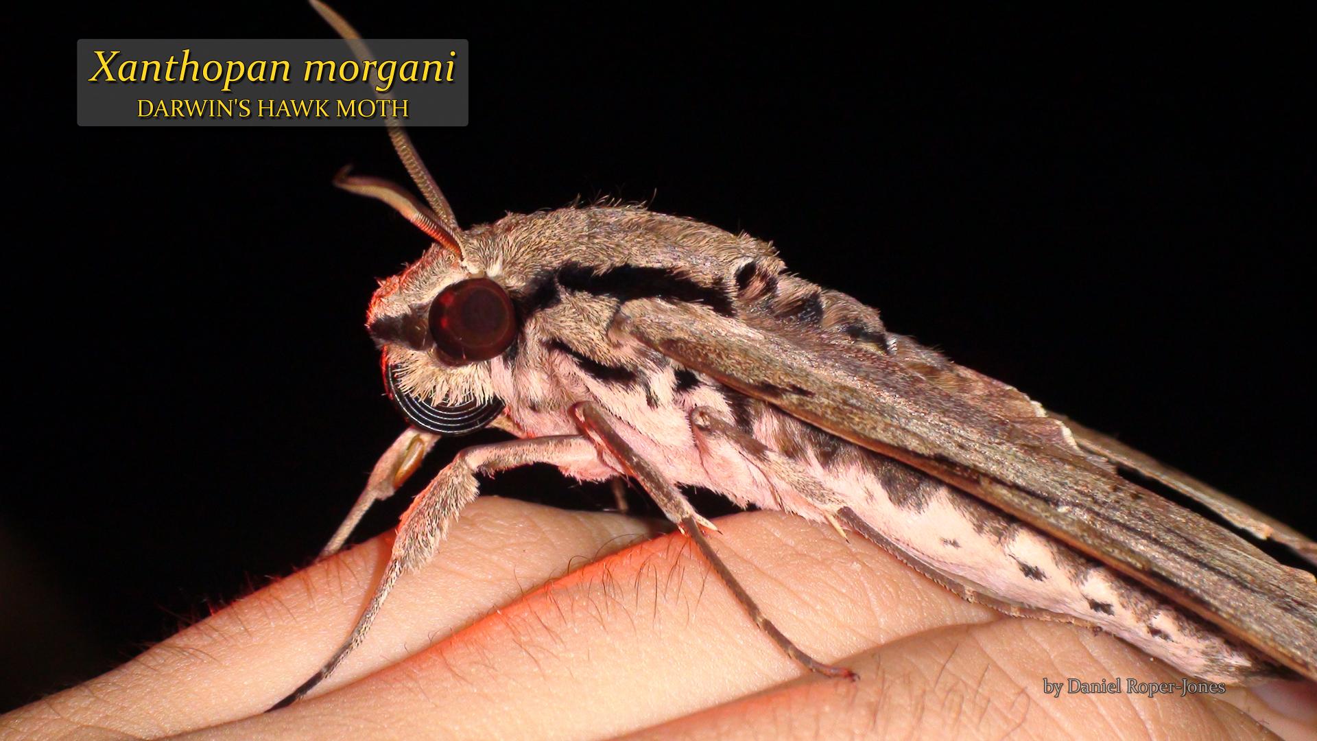 Xanthopan morgani- DRJ.jpg