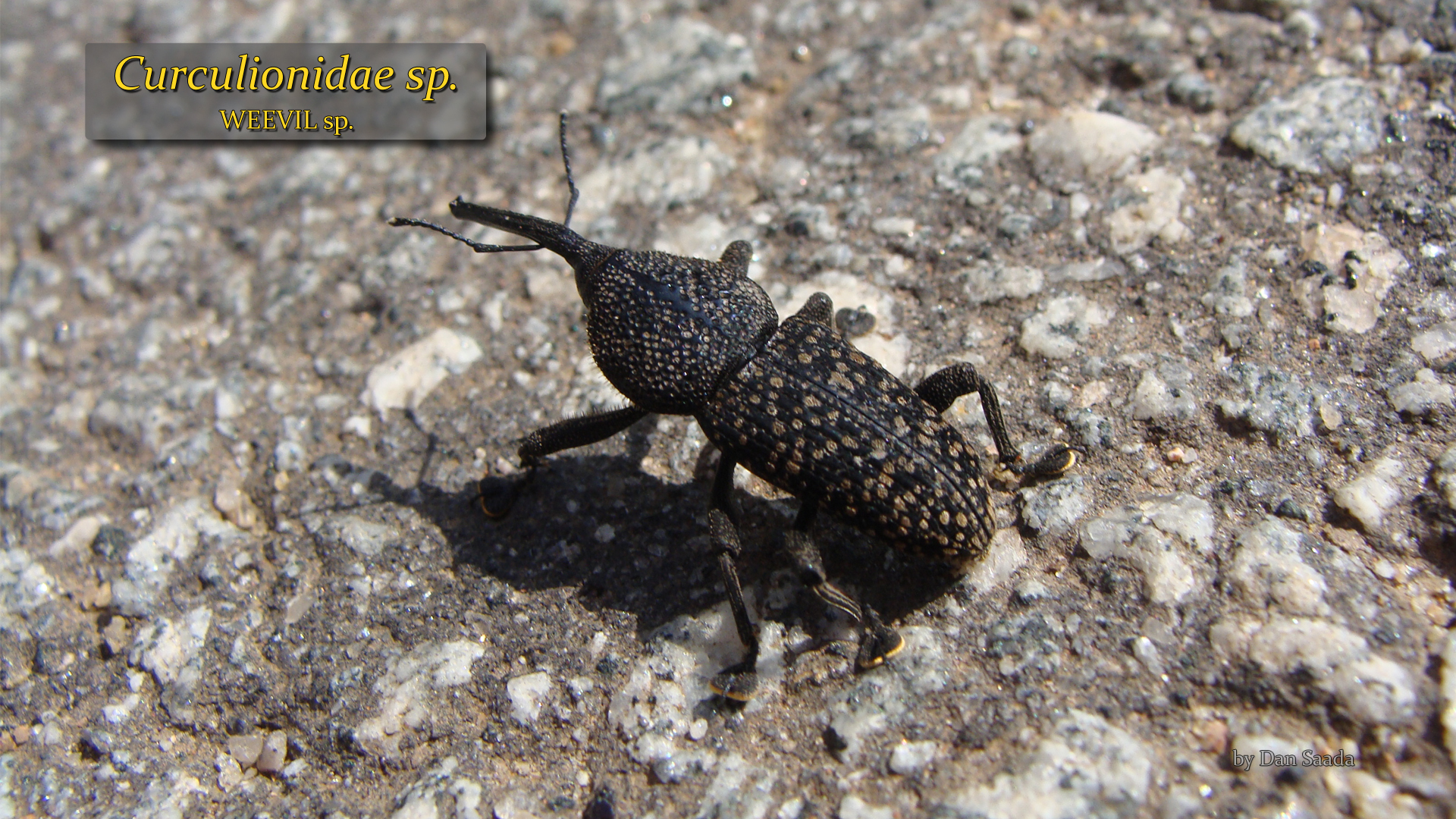 Unidentified weevil- Dan Saada.jpg
