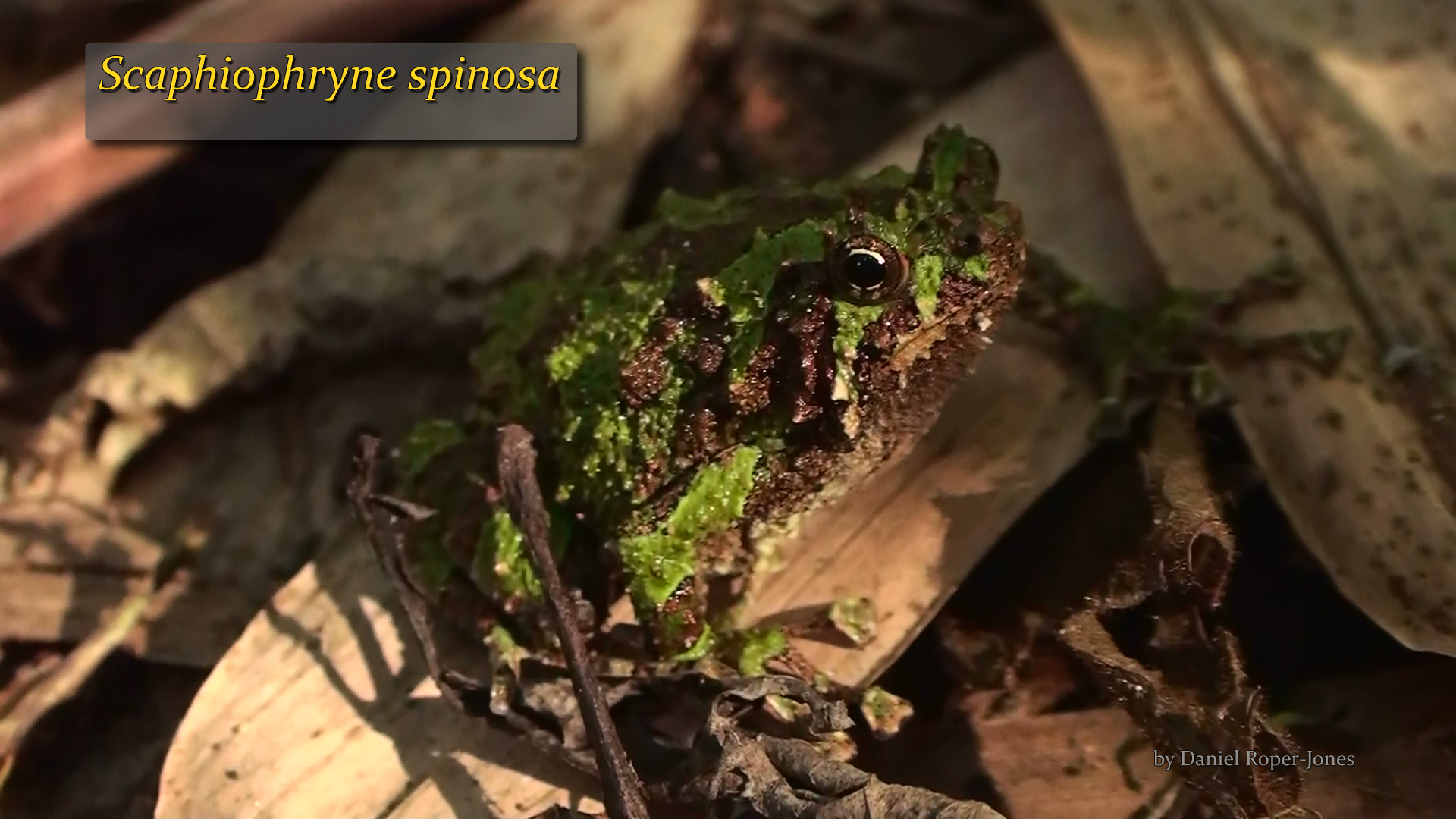 Scaphiophryne spinosa- DRJ.jpg