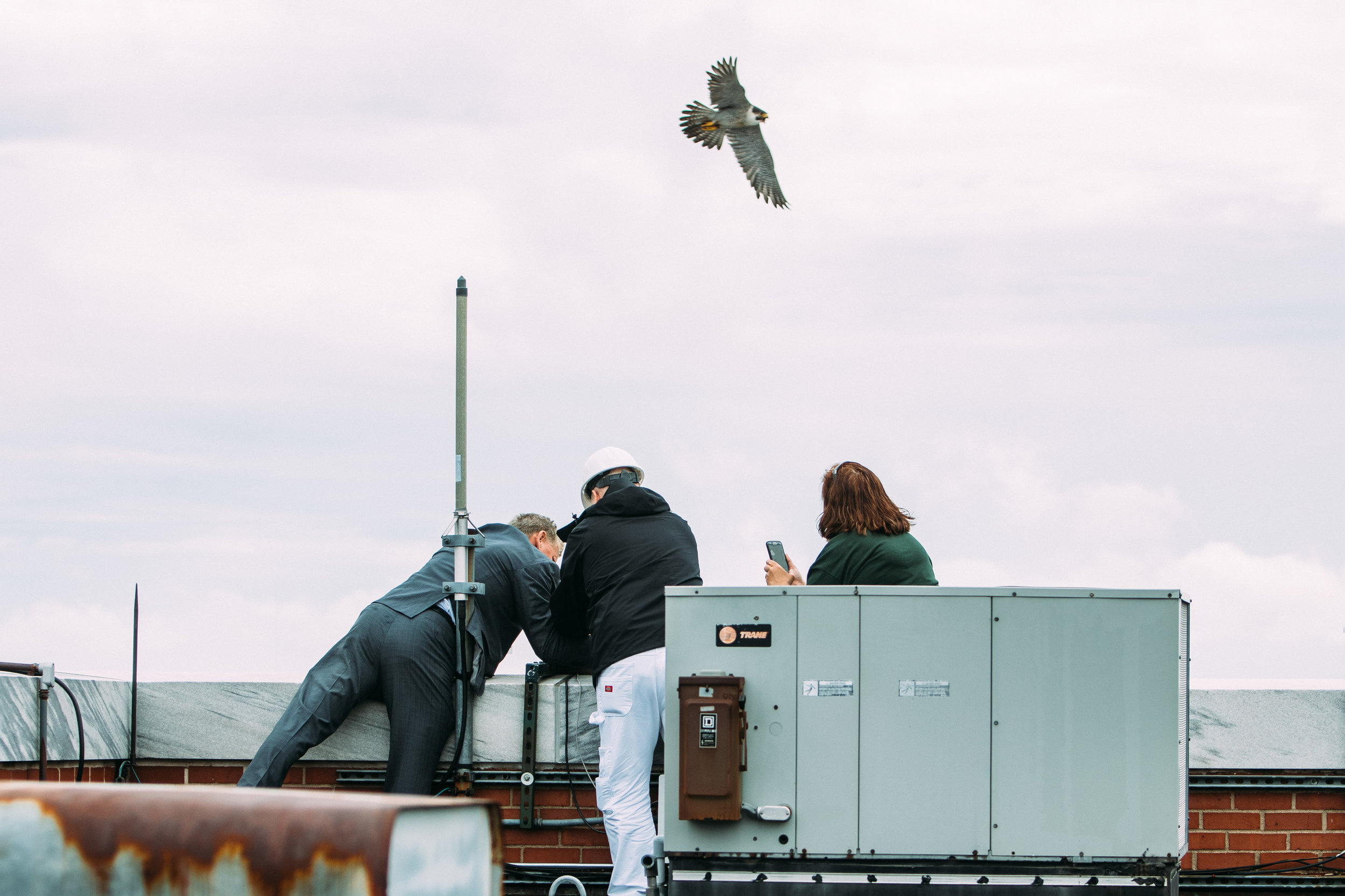 The two resident falcons fought off a total of eight other birds to secure their nest.