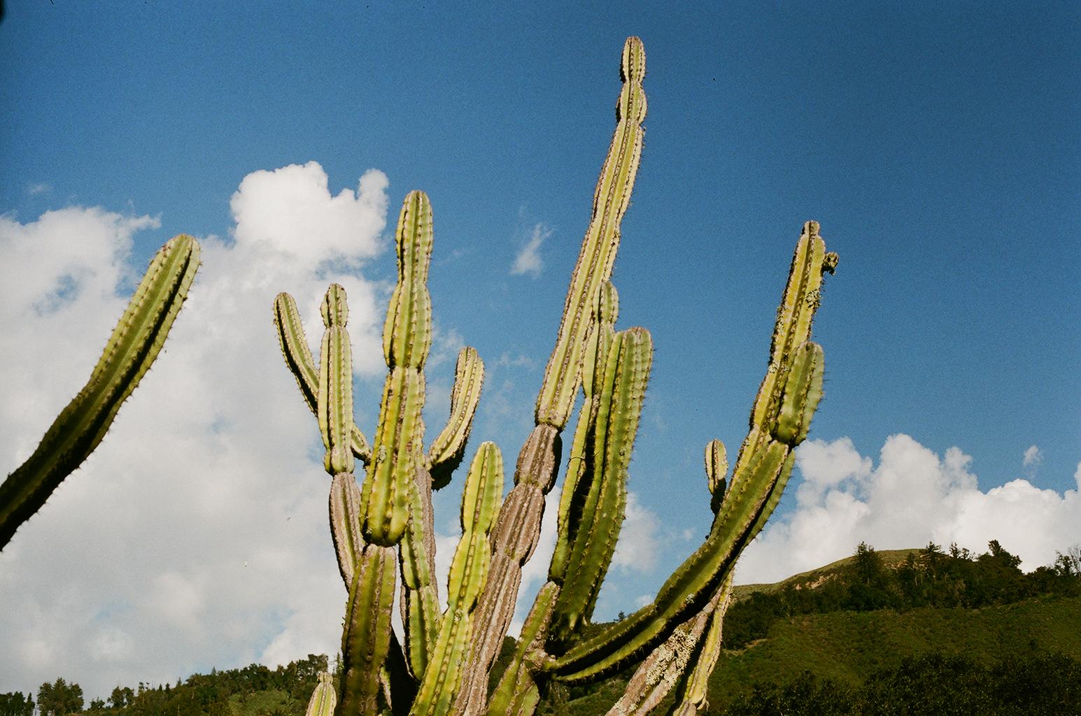 Laura Helen Winn - Cactus
