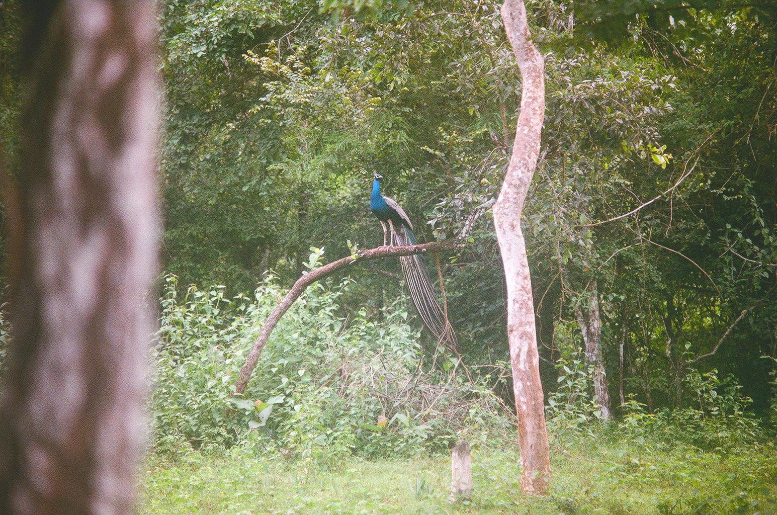 LauraHelenWinn_peacock