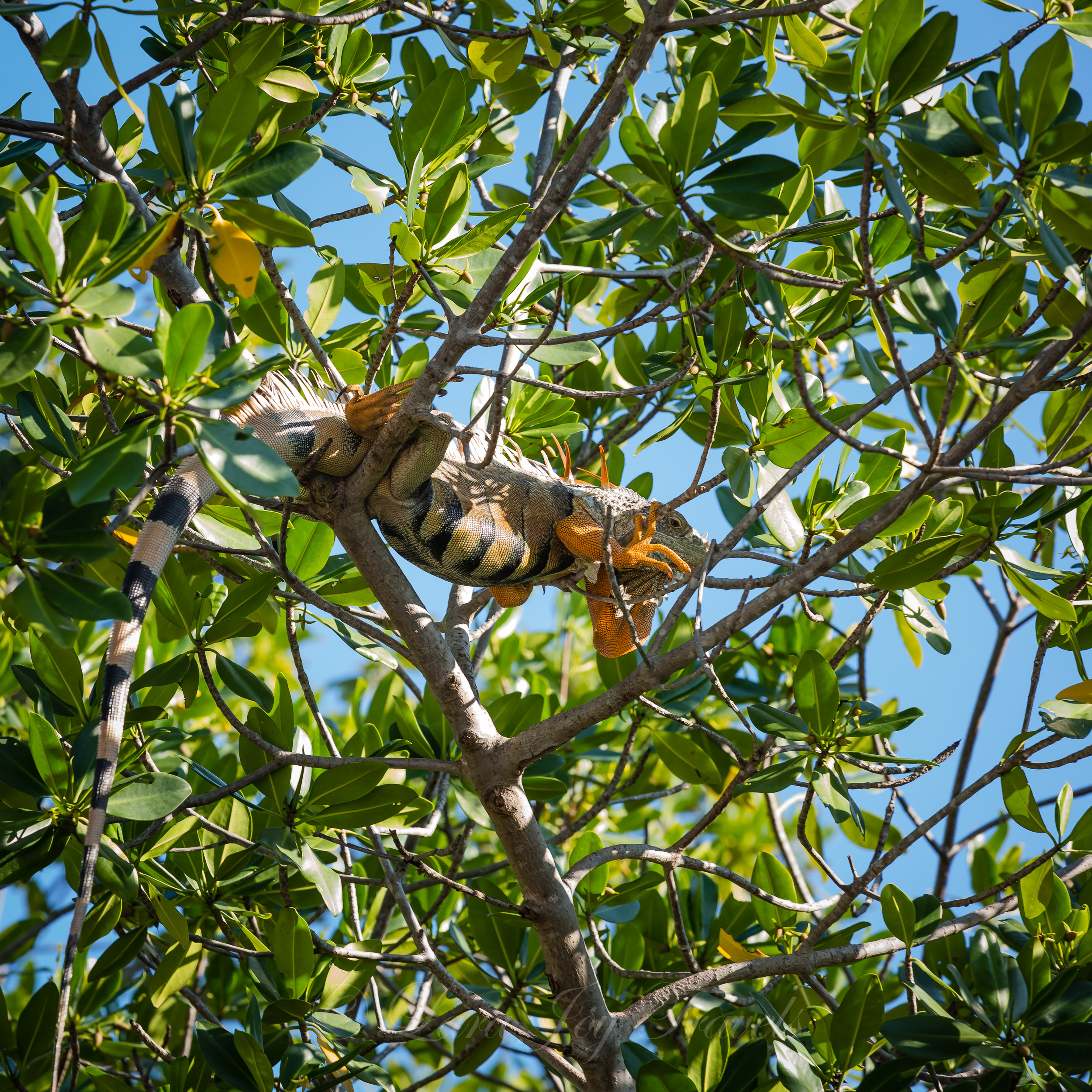 This guy was hanging out in a tree over the canal.  By this time, I knew that if I looked up, I'd see at least one iguana, and I shot him as our boat cruised beneath him.