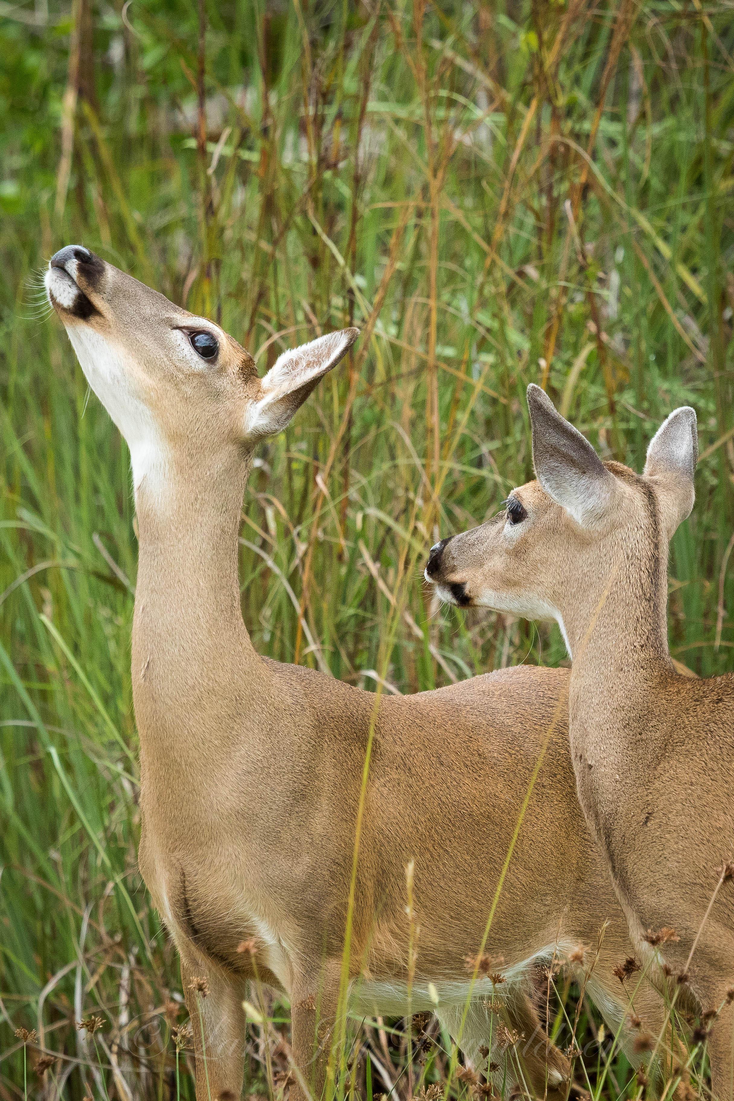 _W5A5523key deer.jpg