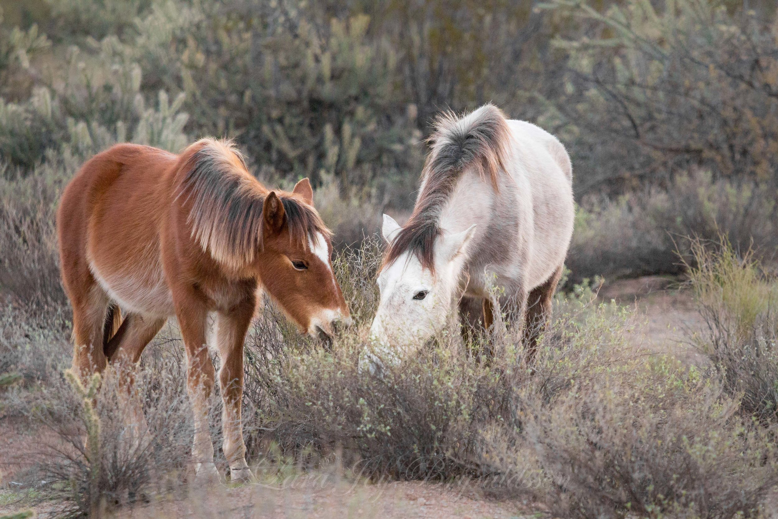 Salt River wild horses, Tonto National Forest, Arizona