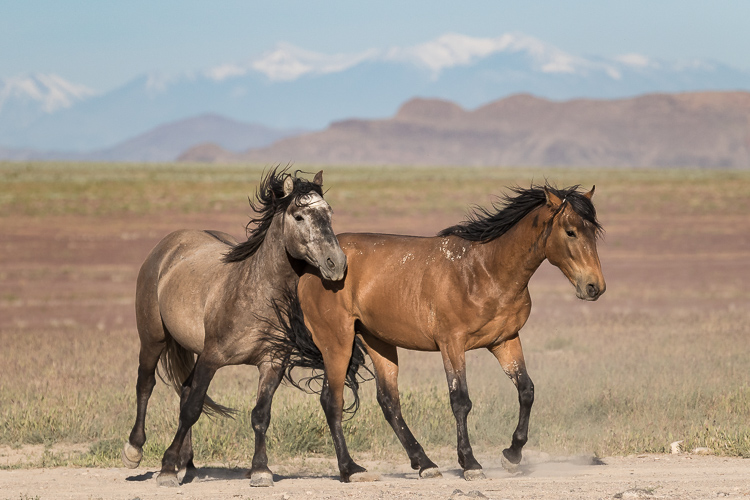 Onaqui-Wild-Horses-14.jpg