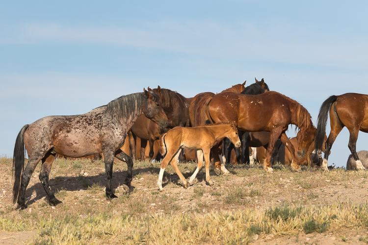 Onaqui-Wild-Horses-47.jpg